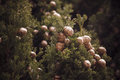Close up photo of the mediterranean cypress tree cones Royalty Free Stock Photo