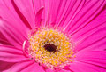 Close-up photo of a Pink flower Coral Gerbera Daisy for background or texture Royalty Free Stock Photo