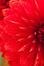 Close up photo of a red dahlia flower Royalty Free Stock Photos
