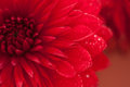 Close up photo of a red dahlia flower Stock Photos