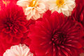 Close up photo of a red dahlia flower Royalty Free Stock Photography