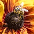 Close up photo of a western honey bee gathering nectar and spreading pollen on a young autumn sun coneflower rudbeckia nitida Stock Photo