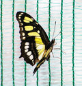 Close up photo of yellow butterfly Royalty Free Stock Photo