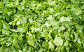 Close up photograph of fresh cilantro a bunch Stock Photo