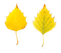 Close-up Photograph of front and backside of a withering autumnal birch tree leaf isolated on white background Royalty Free Stock Photo