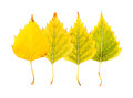 Close-up Photograph of a set of a withering autumnal birch tree Royalty Free Stock Photo
