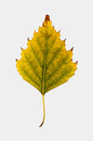 Close-up Photograph of a withering autumnal birch tree leaf isolated on white background Royalty Free Stock Photo