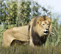 Close up picture of a male lion in the grass Stock Photos