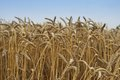 Close up picture on the riped wheat filed dried yellow grains and straws in the summer day waiting for the combine harvester Royalty Free Stock Photography