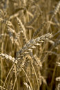 Close up piece of wheat Royalty Free Stock Photography
