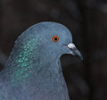Close up of pigeon rock dove columba livia Royalty Free Stock Images