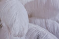 Close-Up of Pile of White Fluffy Feathers Royalty Free Stock Photo