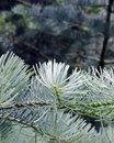 Close-up of pine branch Royalty Free Stock Image
