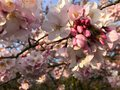 Close up of pink cherry blossoms on a bright spring day Royalty Free Stock Photo