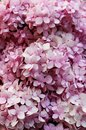 Close Up Pink colors of Hydrangea Flowers is a genus of many species of flowering plants Royalty Free Stock Photo