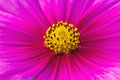 Close up pink cosmos flower cosmos bipinnatus use for backgrou background on natural light Stock Images
