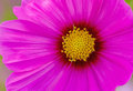 Close up pink cosmos flower cosmos bipinnatus use for backgrou background in natural light Royalty Free Stock Images