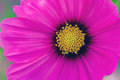 Close up pink cosmos flower cosmos bipinnatus use for backgrou background in vintage style Stock Photography