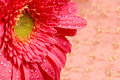 Close-up of a pink daisy in a silk golden background Royalty Free Stock Photo