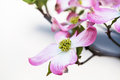 Close Up Pink Dogwood Tree Bloom