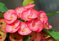 Close up of pink euphorbia milii flower flowers with dewdrop also call crown thorns Stock Images