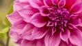 Close Up Of Pink Flower : Aste...