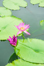 Close up pink flower lotus and leaf on canal of asia Stock Photos