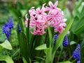 Pink Pearl and Armenian Grape Hyacinth at bloom spring season garden details Royalty Free Stock Photo