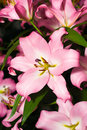 Close-up of pink Lily from Keukenhof park Royalty Free Stock Images