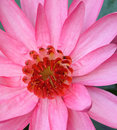 Close up pink lotus Royalty Free Stock Images
