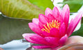 Close up pink lotus flower blooming Stock Images