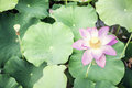 Close up of pink lotus flower on a lake in china Royalty Free Stock Image