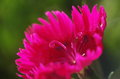 A close up of pink pistils of dianthus chinensis there is flower the are like ram s horns Stock Photos