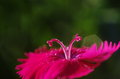 A close up of pink pistils of dianthus chinensis there is flower the are like ram s horns Royalty Free Stock Photography