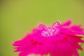 A close up of pink pistils of dianthus chinensis there is flower the are like ram s horns Stock Image