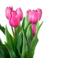 Close-up pink tulips Royalty Free Stock Photo