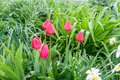 Close-up of pink tulips and daffodil in the garden among the greenery
