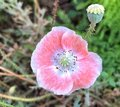 Pink and White Poppy Flower