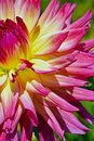 Close up of pink yellow Dahlia flower.