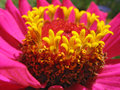 Close up of pink zinnia stamens beautiful Royalty Free Stock Photos