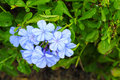 The close up of Plumbago auriculata Lam. Royalty Free Stock Images