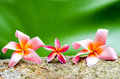Close up plumeria flower on stone Stock Photo