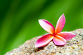 Close up plumeria flower on stone Stock Image