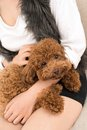 Close up poodle dog lying female kneel Stock Images