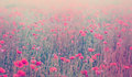 Close up of poppy flowers. Soft focus of poppy field. Pastel ton Royalty Free Stock Photo