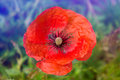 Close up poppy head. red poppy Royalty Free Stock Photo
