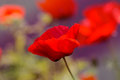Close up poppy head. red poppy. Red poppy flowers field, close u Royalty Free Stock Photo