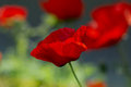 Close up poppy head. red poppy. Red poppy flowers field, close u Royalty Free Stock Photo