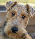 Close up portrait of adorable airedale terrier dog a image a beautiful adult purebred pedigreed male with his head cocked to the Royalty Free Stock Photos