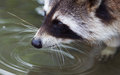 Close-up portrait of an adult raccoon Royalty Free Stock Photo